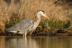 Gray heron ardea cinerea drinking water Royalty Free Stock Photo