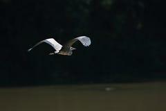 Gray Heron Ardea cinerea en vuelo Foto de archivo