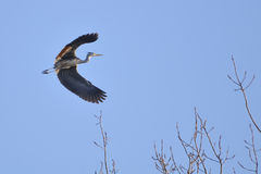 Gray Heron (Ardea Cinerea) in flight Royalty Free Stock Images