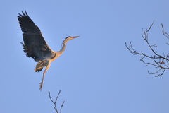 Gray Heron (Ardea Cinerea) in flight Royalty Free Stock Photos