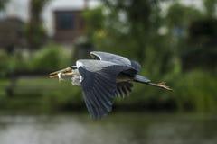 Gray heron (ardea cinerea) Stock Photos