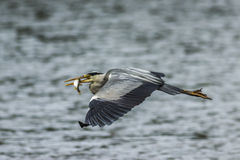 Gray heron (ardea cinerea) Royalty Free Stock Photo
