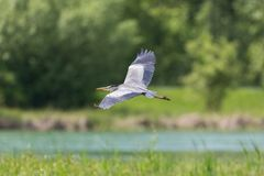 Gray heron ardea cinerea flying over river reed. In sunshine Royalty Free Stock Photo