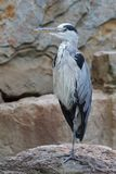Gray Heron, Ardea cinerea. Photo was taken in Germany Stock Photos