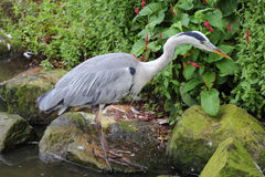 Gray heron ardea cinerea. The Great Blue Heron Ardea cinerea is a bird species from the order of the Ciconiiformes stock images