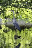 Gray Heron Ardea cinerea perched on a root of a pond stock photo