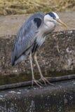 Gray heron (ardea cinerea) Royalty Free Stock Photography