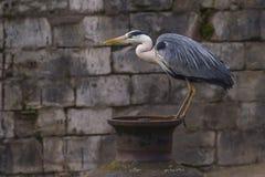 Gray heron (ardea cinerea) Stock Photography