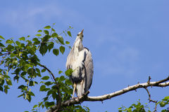 Gray heron (Ardea cinerea) sitting on a tree in Germany and basks in the evening sun . Stock Images