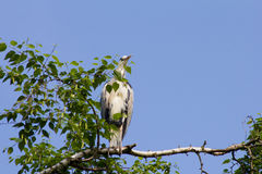 Gray heron (Ardea cinerea) sitting on a tree in Germany and basks in the evening sun . Stock Image