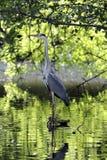 Gray Heron Ardea cinerea som sätta sig på, rotar av ett damm arkivfoto