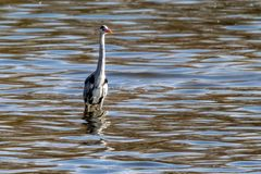 Gray heron ardea cinerea standing in shallow water stock photos