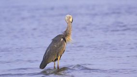 Gray heron Ardea cinerea standing in shallow water and resting in the early summer morning. A heron cleans its eathers stock footage