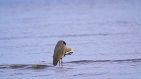 Gray heron Ardea cinerea standing in shallow water and resting in the early summer morning. stock footage