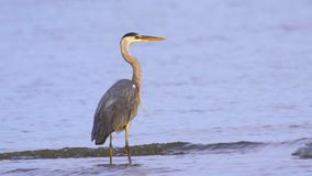 Gray heron Ardea cinerea standing in shallow water and resting in the early summer morning. stock video