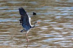 Grey heron Ardea cinerea taking to flight royalty free stock photo
