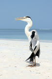 Gray Heron on Beach Royalty Free Stock Image