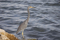 Gray Heron bird fishing in the ocean Stock Photography