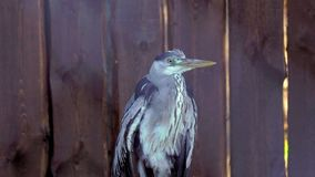 The gray heron bird is sitting quietly near the wooden wall. Heron resting after a meal. stock video footage