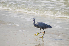 Gray heron a bird with a yellow beak at the sea. Gray heron a bird with yellow beak at the sea Royalty Free Stock Image