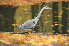 Gray heron Stock Photography