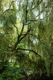 Gray Heron is camoflauged, perching in a tall weeping willow tree in a park. Gray Heron hiding in a weeping willow tree. Photo taken in a park in Amsterdam, the stock photography
