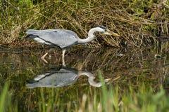 Gray Heron - cinerea Ardea Royaltyfri Bild