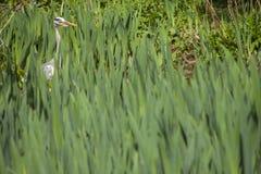 Gray Heron - cinerea Ardea Royaltyfri Fotografi