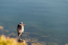 Gray heron close view standing on the beach Royalty Free Stock Images