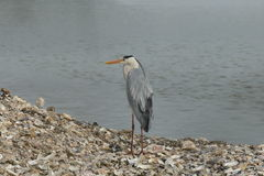 Gray heron Stock Images
