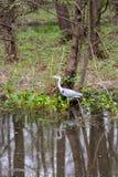 Gray Heron-de jacht in ondiep water in natuurreservaat Boberg royalty-vrije stock afbeeldingen