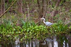 Gray Heron-de jacht in ondiep water in natuurreservaat Boberg in Hamburg stock foto