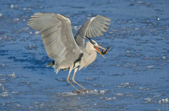 Gray heron eating a fish Stock Photos