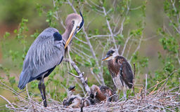 Gray Heron Family. Heron family nesting at a park near Denver, Colorado Royalty Free Stock Photo