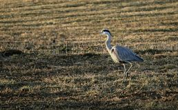 Gray heron in a field. A big great heron walking in a field stock photography