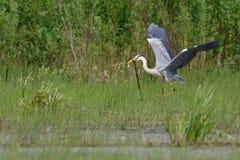 Gray Heron-Fliegen Lizenzfreie Stockfotografie