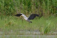 Gray Heron-Fliegen Lizenzfreies Stockbild
