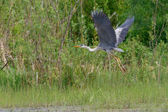 Gray Heron-Fliegen Stockfotos