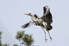 Gray heron that flies to the nest Stock Photography