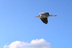 Gray heron in flight Stock Photo