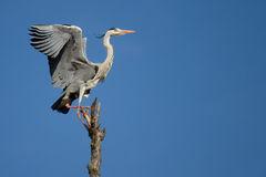 Gray heron. Flight of a gray heron in the blue sky Stock Photos