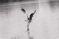 Gray heron in flight Royalty Free Stock Photos
