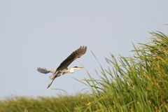 Gray heron in flight over swamps Royalty Free Stock Photos