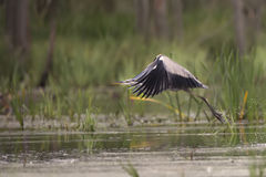Gray heron in flight Stock Photos