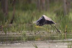 Gray heron in flight Stock Photos