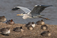 Gray Heron flying. Over ducks Stock Photo