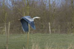 Gray Heron flying low Stock Photography