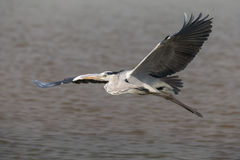 Gray Heron flying. Over water Royalty Free Stock Photo