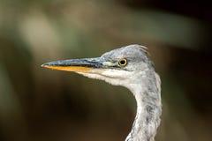 Gray heron Royalty Free Stock Photography
