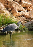Gray heron with golden fish Stock Image